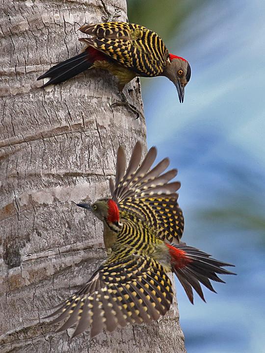 Hispaniolan Woodpecker HIWO F DR