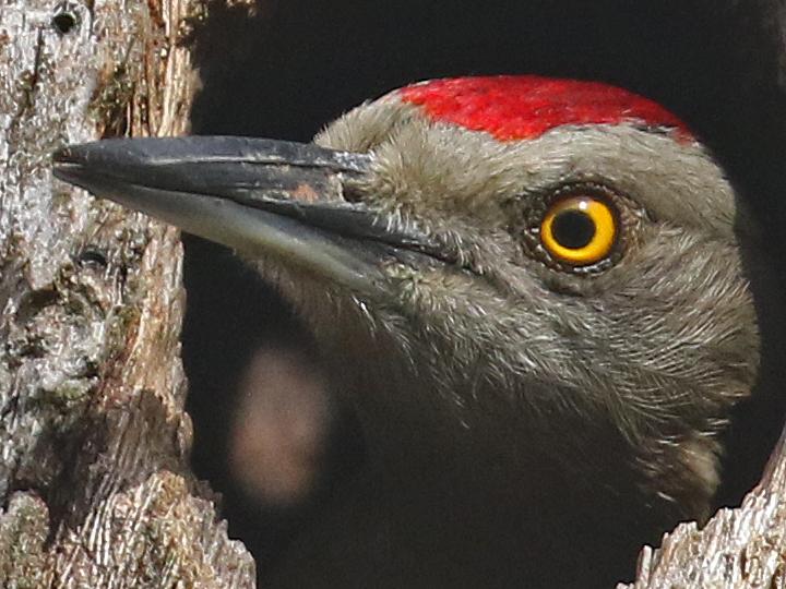 Hispaniolan Woodpecker HIWO M DR
