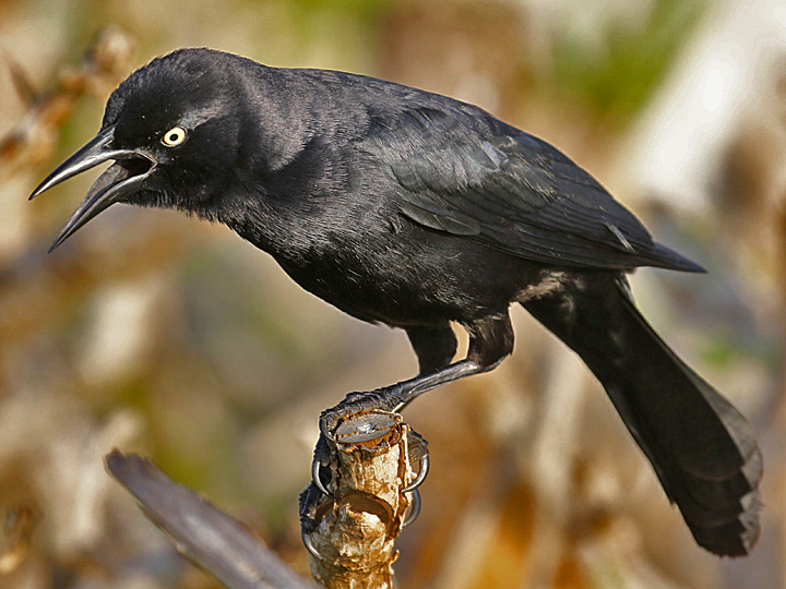 Greater Antillean Grackle GAGR DR