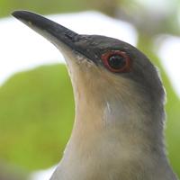 Hispaniolan Lizard-Cuckoo  HILC DR
