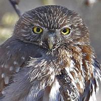 Ferruginous Pygmy-Owl FEPO