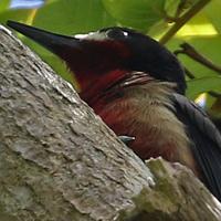 Puerto Rican Woodpecker PRWO PR