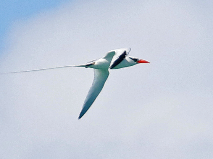 Red-billed Tropicbird RBTR PR