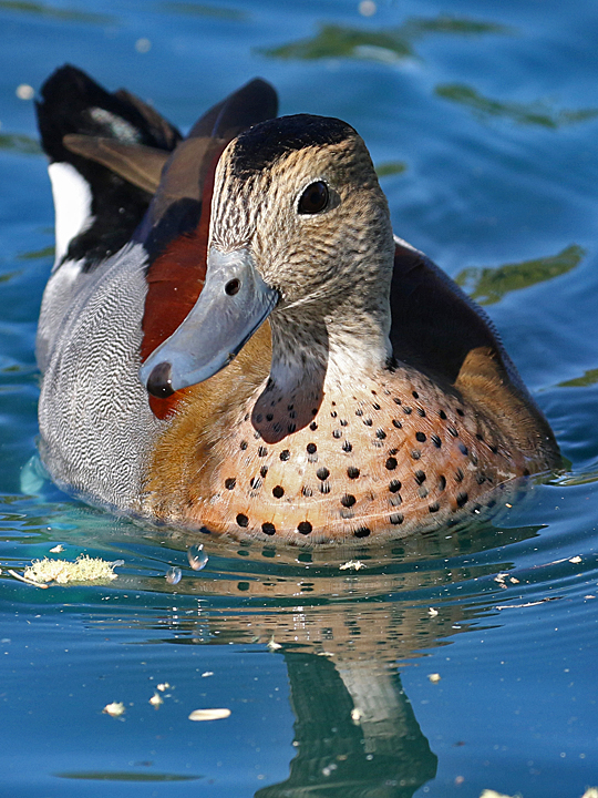 Ringed Teal RITE