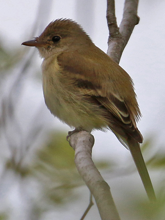 Yellow-bellied Flycatcher YBFL