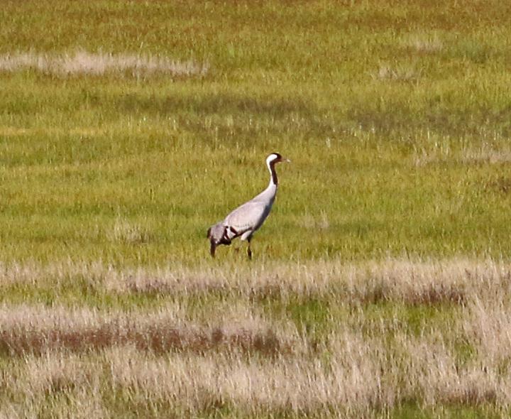 Common Crane CCRA