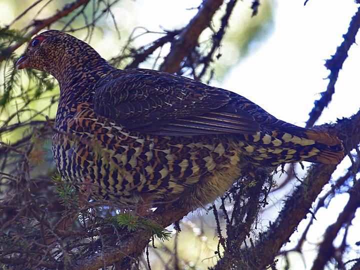 Spruce Grouse SPGR
