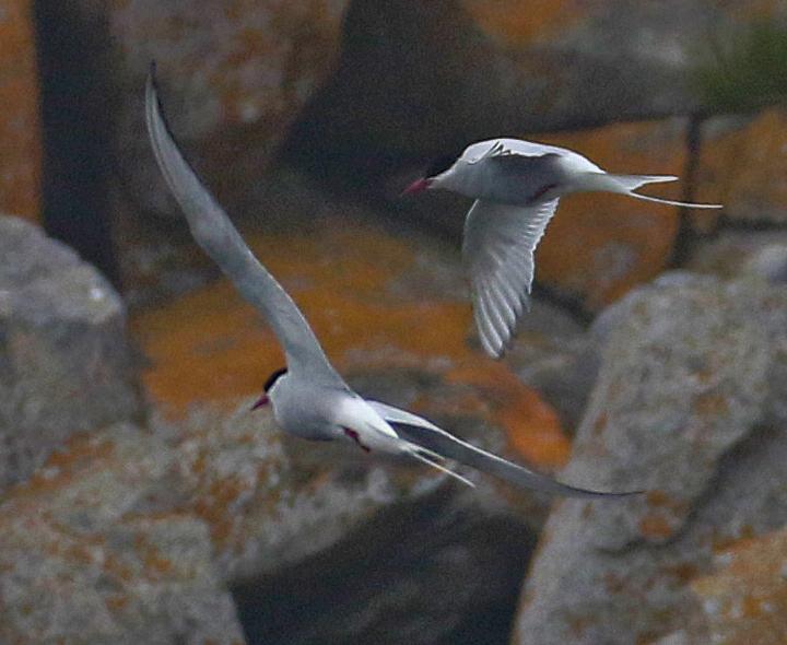 Arctic Tern ARTE