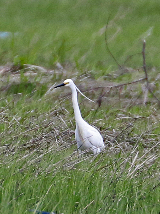 Little Egret LIEG