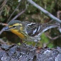 Blackburnian Warbler BLBW