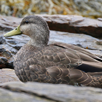 American Black Duck ABDU