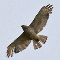 Broad-winged Hawk BWHA