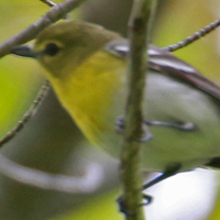 Yellow-throated Vireo YTVI
