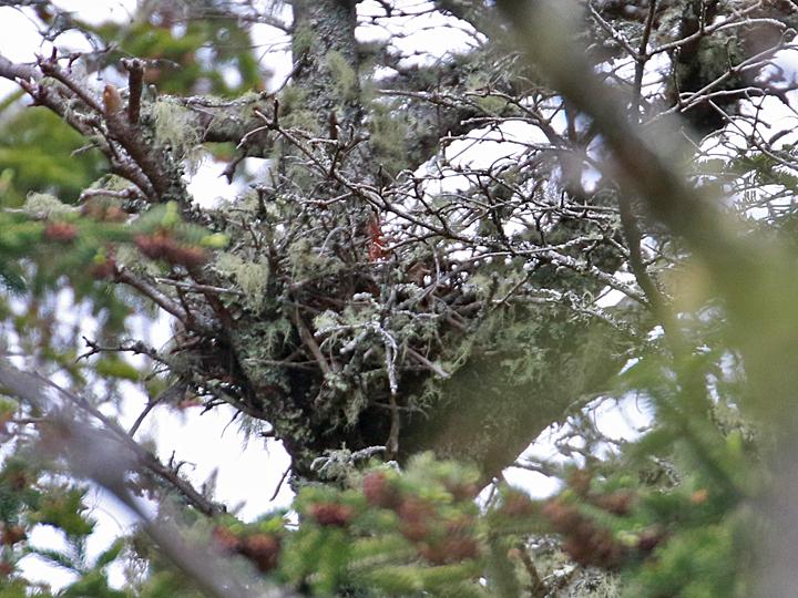 Merlin MERL nest