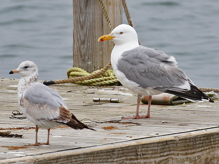 Ring-billed Gull and Herring Gull