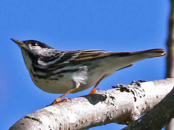 Black-and-white Warbler BAWW