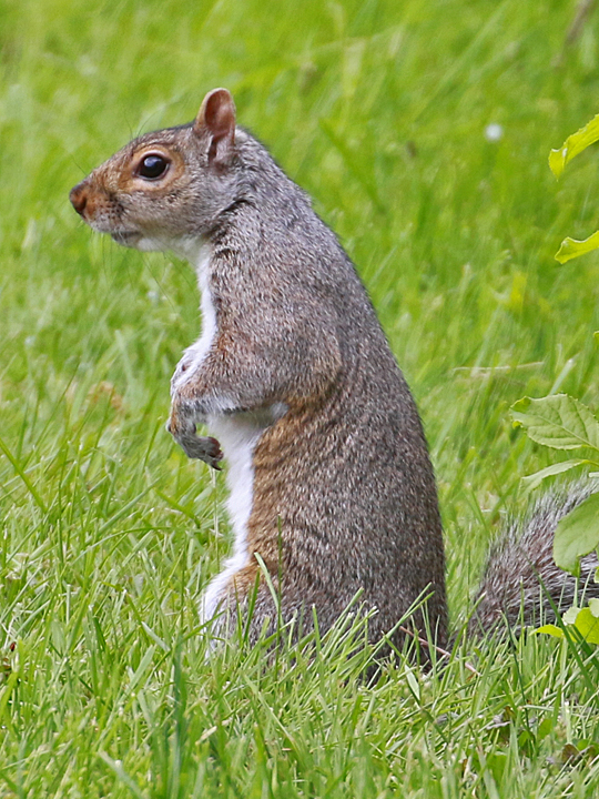 American Red Squirel