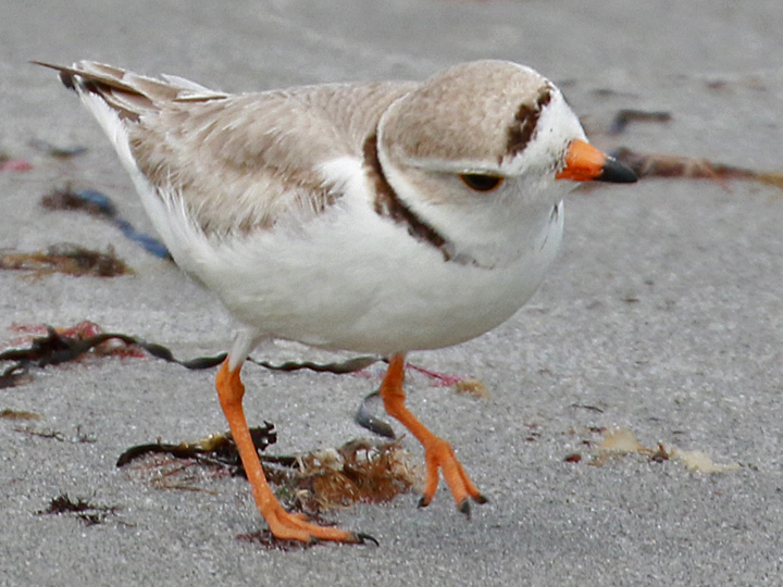 Piping Plover PIPL