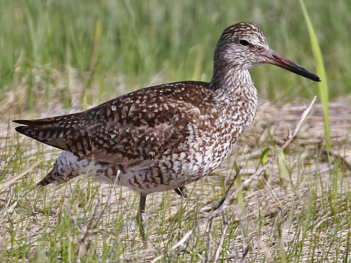 Willet WILL (Eastern)