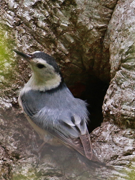 White-breasted Nuthatch WBNU