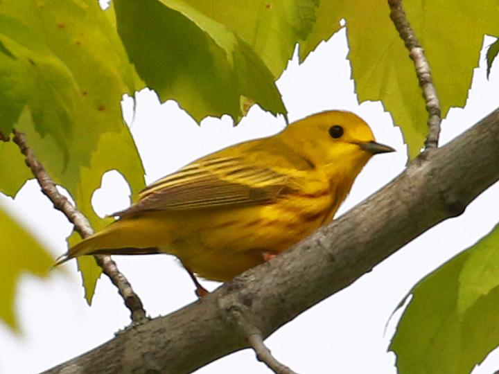 Yellow Warbler YEWA