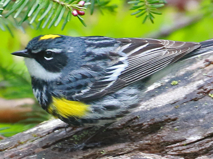 Yellow-rumped Warbler (Myrtle) YRWA