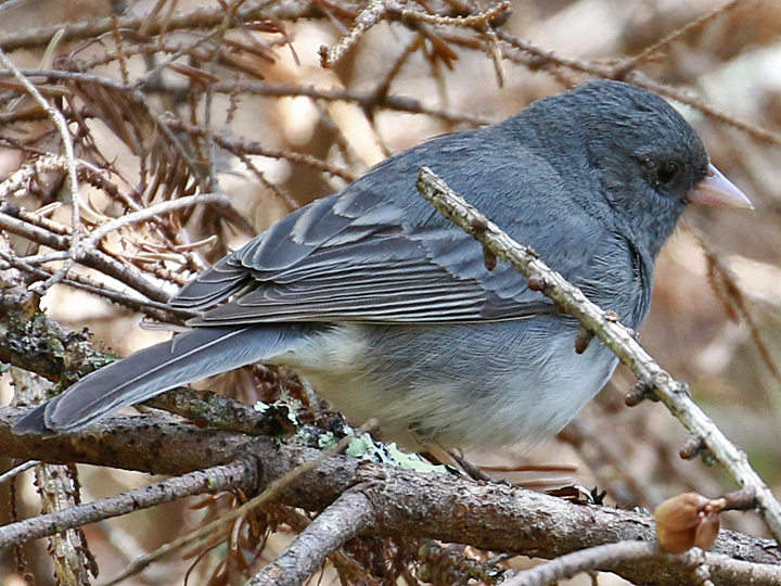 Dark-eyed Junco (Slate) DEJU