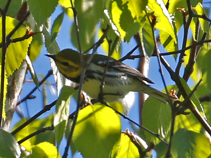 Black-throated Green Warbler BTNW