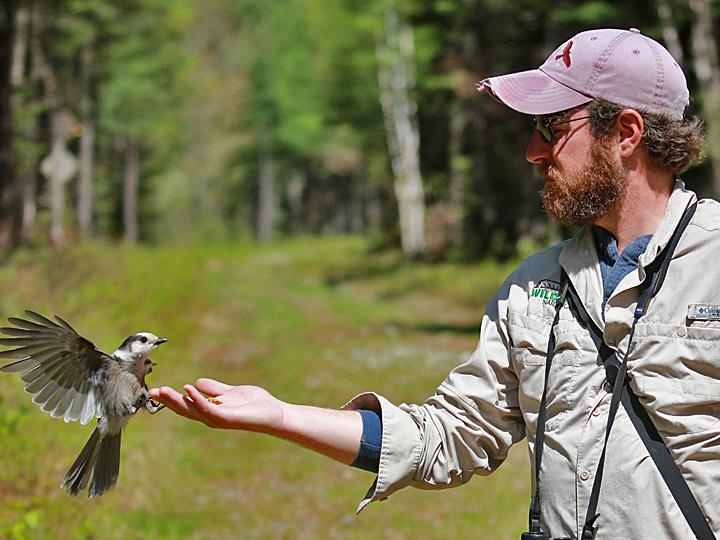 Canada Jay (Northern) CAJA