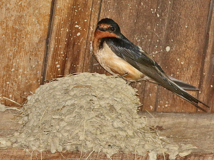 Barn Swallow BARS