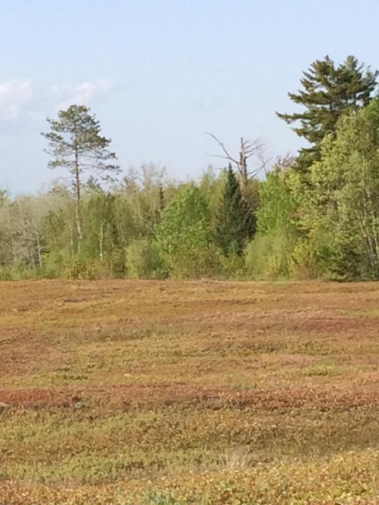 Blueberry Bog