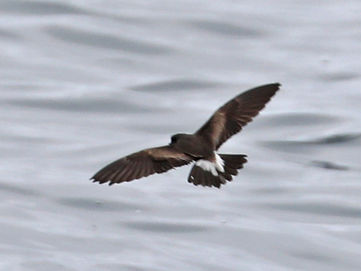 Townsend's Storm-Petrel TOSP