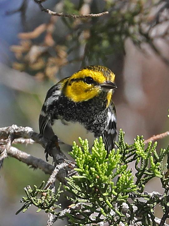 Golden-cheeked Warbler GCWA