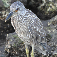Yellow-crowned Night-Heron YCNH juvenile