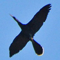 Anhinga ANHI male