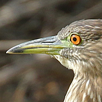 Black-crowned Night-Heron BCNH juvenile