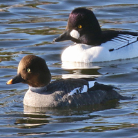 Common Goldeneye COGO