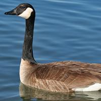 Canada Goose CANG