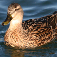 Mallard MALL female