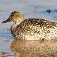 Northern Pintail NOPI female