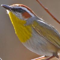 Rufous-capped Warbler RCWA