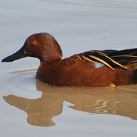 Cinnamon Teal CITE male