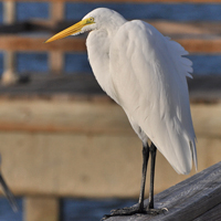 Great Egret GREG