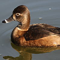 Ring-necked Duck RNDU female
