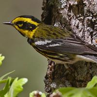 Townsend's Warbler TOWA