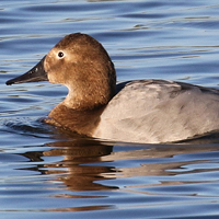 Canvasback CANV female