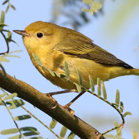 Yellow Warbler YEWA female