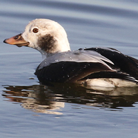 Long-tailed Duck LTDU female