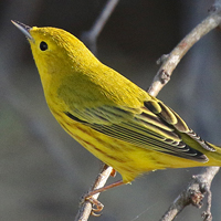 Yellow Warbler YEWA male
