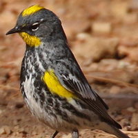 Yellow-rumped Warbler YRWA male Audubon